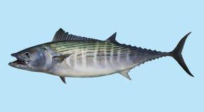 Portrait de pêche de bonito atlantique Photos libres de droits