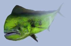 Portrait de pêche de dauphin de Mahi Mahi Dorado Photos libres de droits