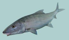 Portrait de pêche de mouche de Bonefish Photos stock