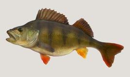 Portrait de pêche de perche Photographie stock libre de droits