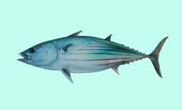 Portrait de pêche de thon de bonites Image libre de droits