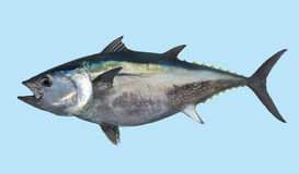 Portrait de pêche de thon de thonine Photographie stock