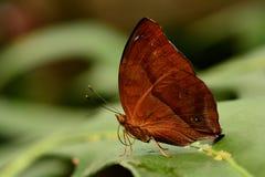Portrait de papillon de Leafwing Photos libres de droits