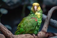 Portrait de perroquet d'Amazone couronné par jaune Photos libres de droits