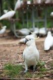 Portrait de perroquet de cacatoès Photographie stock libre de droits
