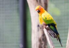 Portrait de perruche jaune Image libre de droits