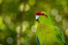 Portrait de perruche de vert de Kakariki photographie stock libre de droits