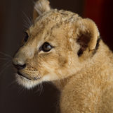 Portrait de petit animal de lion Image stock