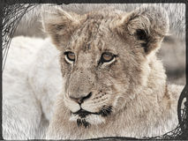 Portrait de petit animal de lion Photo libre de droits