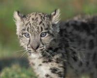 Portrait de petit animal de léopard de neige Photographie stock