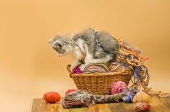 Portrait de petit joli chaton gris Chaton drôle et tricotage Images stock