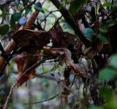 Portrait de phantasticus d'Uroplatus, le gecko feuille-coupé la queue satanique en parc national de Fianarantsoa Ranomafana, Mada photo stock