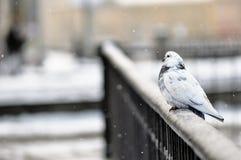 Portrait de pigeons sur la balustrade dans le jour d'hiver image libre de droits