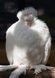 Portrait de pigion de race chinoise de hibou Photographie stock libre de droits
