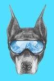 Portrait de Pinscher de dobermann avec des lunettes de ski Photographie stock libre de droits