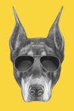 Portrait de Pinscher de dobermann avec des lunettes de soleil Photographie stock libre de droits