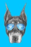 Portrait de Pinscher de dobermann avec des lunettes de soleil de miroir Image libre de droits