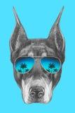 Portrait de Pinscher de dobermann avec des lunettes de soleil de miroir Photographie stock libre de droits