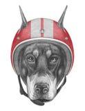 Portrait de Pinscher de dobermann avec le casque Photographie stock libre de droits