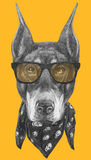 Portrait de Pinscher de dobermann avec les lunettes de soleil et l'écharpe Photographie stock libre de droits