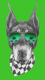 Portrait de Pinscher de dobermann avec les lunettes de soleil et l'écharpe Photo libre de droits