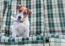 Portrait de plan rapproché de chien adorable Jack Russell se reposant sur les protections ou le coussin sur le banc de jardin ou  photo stock
