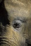 Portrait de plan rapproché d'éléphant d'oeil et de visage Images libres de droits