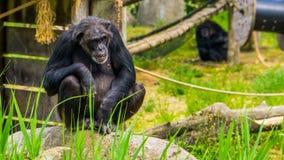Portrait de plan rapproché d'un chimpanzé occidental, espèce en critique mise en danger de primat d'Afrique photo libre de droits