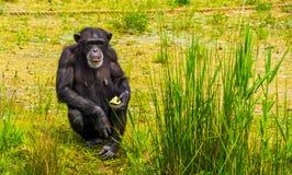 Portrait de plan rapproché d'un chimpanzé occidental tenant de la nourriture, affouragement animal de zoo, espèce en critique mis images stock