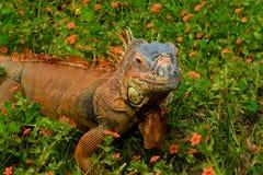 Portrait de plan rapproché d'un iguane Image libre de droits