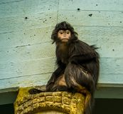 Portrait de plan rapproché d'un singe javan de langur, forme tropicale de primat l'île de Java de l'Indonésie, espèce animale vul image libre de droits