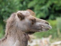Portrait de plan rapproché de chameau Photos stock