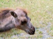 Portrait de plan rapproché de chameau Photo stock