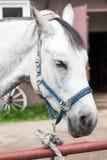 Portrait de plan rapproché de cheval blanc, ferme russe Image stock