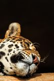 Portrait de plan rapproché de jaguar ou d'onca de Panthera Images libres de droits