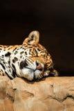 Portrait de plan rapproché de jaguar ou d'onca de Panthera Photos libres de droits