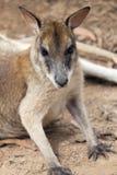 Portrait de plan rapproché de kangourou Image libre de droits