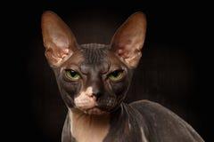 Portrait de plan rapproché de vue grincheuse de Sphynx Cat Front sur le noir Photographie stock libre de droits