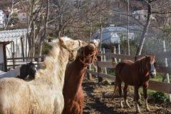 Portrait de plan rapproché de deux chevaux jouant ensemble dehors à la ferme Image libre de droits