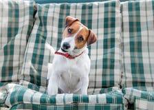 Portrait de plan rapproché de petit chien blanc et rouge Jack Russell se reposant sur les protections ou le coussin à carreaux ve photo libre de droits