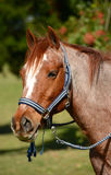 Portrait de poney Images libres de droits