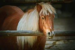 Portrait de poney de châtaigne Photographie stock