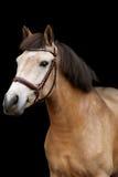 Portrait de poney de peau de daim sur le fond noir Images stock