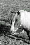 Portrait de poney en noir et blanc Images stock