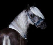 Portrait de poney de Shetland argent-noir d'Américain Photo stock