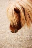 Portrait de poney de Shetland de châtaigne Images libres de droits