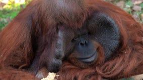 Portrait de Pongo Pygmaeus de singe d'orang-outan de Bornean banque de vidéos