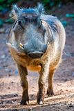Portrait de porc de verrue regardant directement l'appareil-photo Photos libres de droits