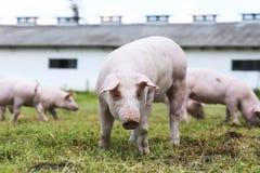 Portrait de porcelet sur la scène rurale de ferme d'élevage de porc Photos libres de droits