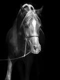 Portrait de poulain Arabe au fond noir Image libre de droits